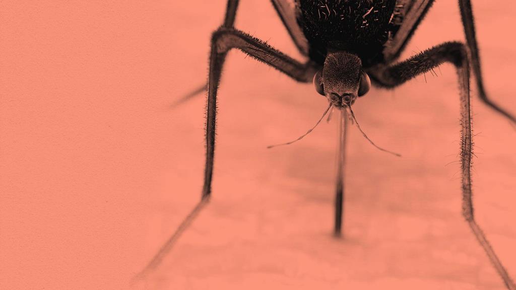 Лихорадка денге заразна?