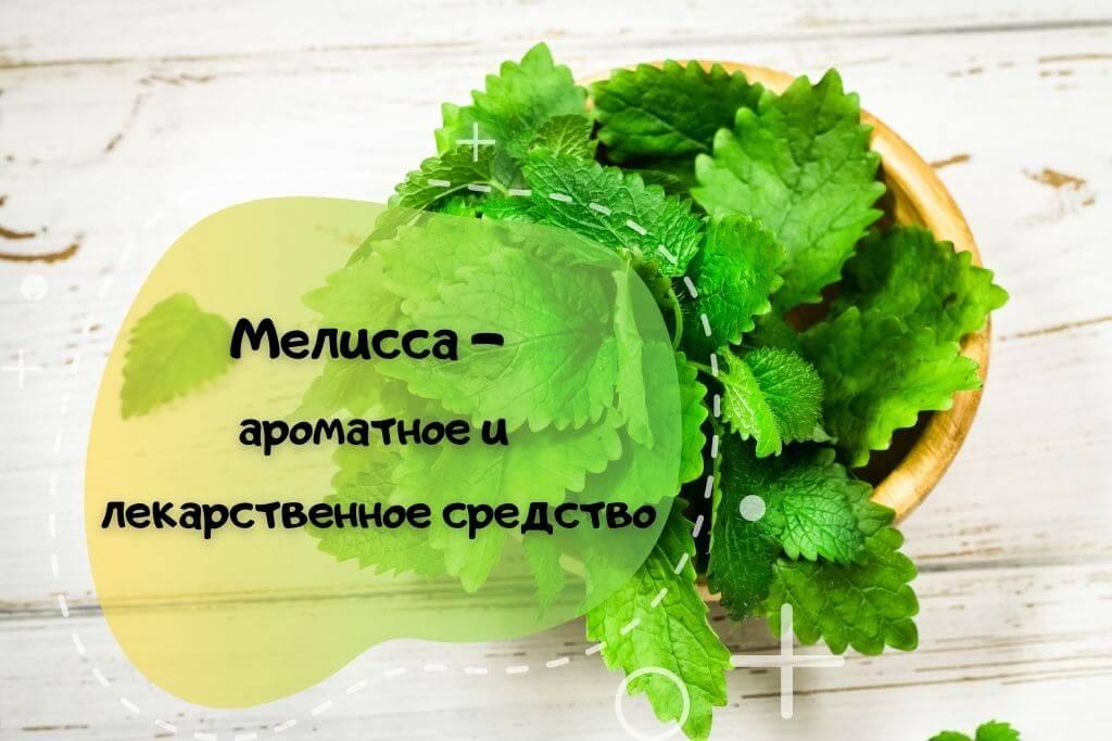 Мелисса: ароматное растение или лекарственное средство