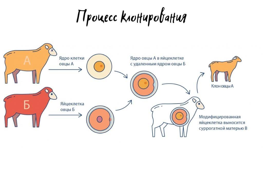 Клонирование процесс и виды